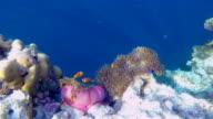 Wildlife clown fish in a sea anemone on Maldives.