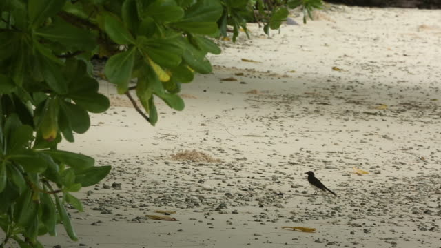 Willie Wagtail bird foraging for insects on the beach, medium wide