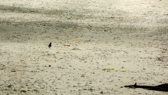 Willie Wagtail bird on the beach, very wide