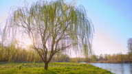 DS Willow tree by the river