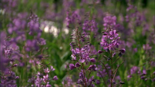 Willowherb (Chamerion angustifolium) grows in forest after forest fire, Yellowstone, USA