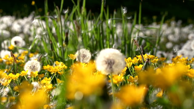 HD SUPER SLOW MO: Wind Blowing Dandelion Seeds