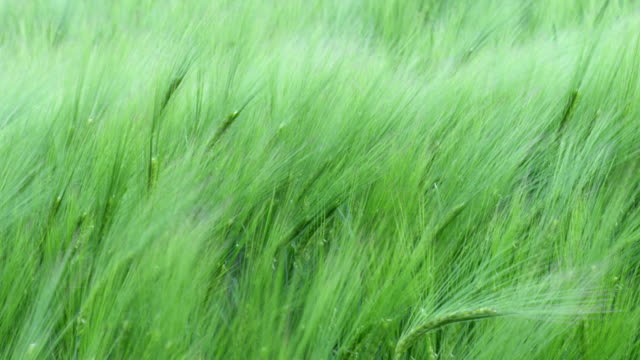 Wind in Grass – Slow Motion