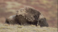 Wind ruffles the shaggy coats of musk oxen as they stand on the tundra.