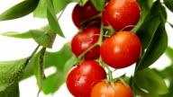 wind tomato