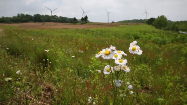 Wind turbines stand at Electric Power Development Co's Nunobiki wind farm in Koriyama Fukushima Japan on Saturday June 24 Close up daisies sway in...