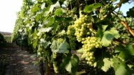 Wine Grape bunches overlooking