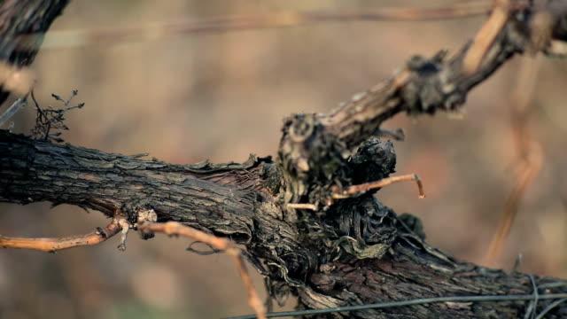 Weintrauben im winter