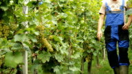 HD: Winegrower Checking Grapes