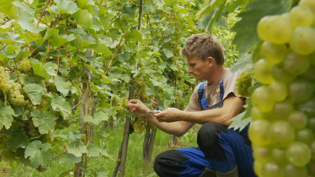 HD DOLLY: Winegrower Checking Ripeness