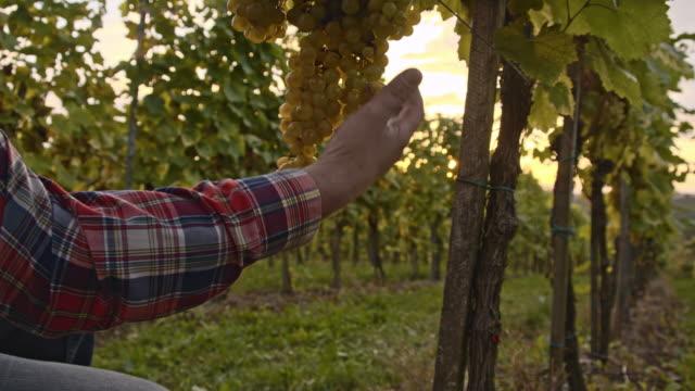 Winegrower checking the grape in vineyard