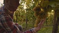 Winegrower examining the grape in vineyard