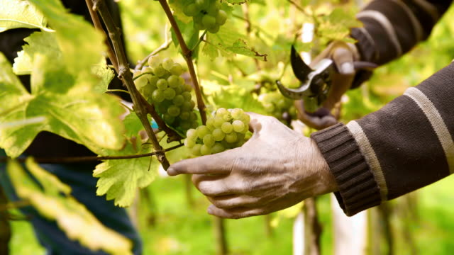 Winegrower harvesting grapes