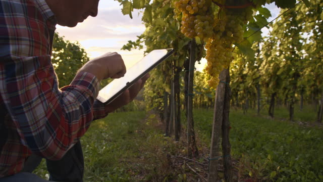 Winegrower using digital tablet for checking the grape