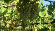Wine-growing area