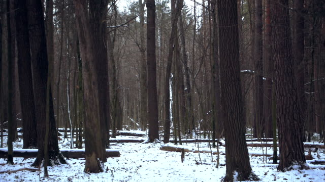 Winter foresta