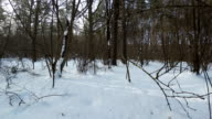 Winter forest. Walk through the thickets of the forest.