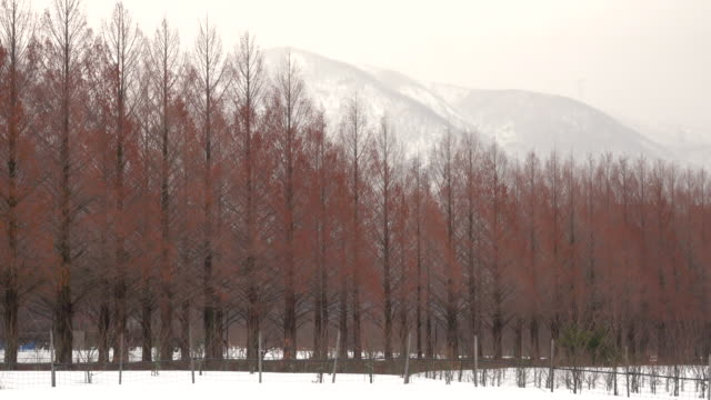 Winter Metasequoia with mountain