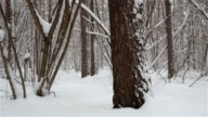 Winter scenery with snowstorm in the forest.