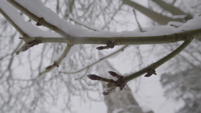Winter snow falls onto bare tree branch in churchyard, Oxfordshire, England