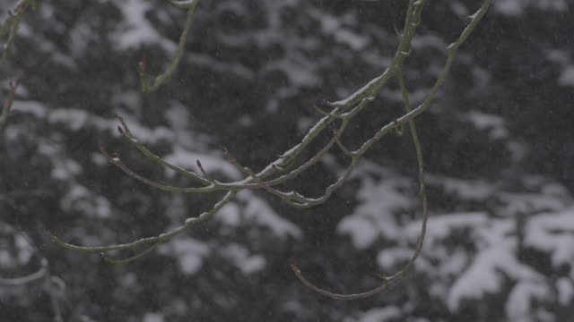 Winter snow falls onto bare tree branches, Oxfordshire, England