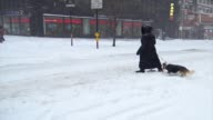 Winter storm Jonas on January 23 2016 / Woman walking dog during east coast blizzard in Times Square during the morning Midtown Manhattan Broadway...