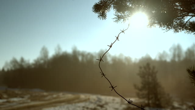 Winter's thaw. Waterdrops shining on the pines' needles under the sun.