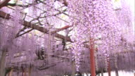 Wisteria flowers sway in the breeze at a shrine in Hyogo, Japan.
