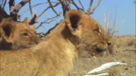 CU PAN with 2 African lion cubs looking out of frame then backing away to reveal skulls in background