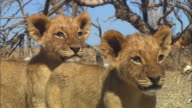 CU PAN with 2 African lion cubs looking out of frame then walking to reveal skulls in background