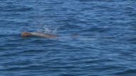 PAN with 2 Bottlenosed Dolphins with brown sponge on their beak as they surface to breathe