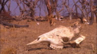 PAN with 2 very young African lion cubs trotting across dry grassland through dead trees and skulls