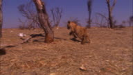 PAN with 2 very young African lion cubs trotting from camera through dead trees and skulls