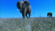 LA PAN with African elephant walking very close to camera and sniffing at lens with trunk