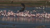 PAN with African Fish Eagle as it flies towards camera with massed flamingoes on Lake Bogoria in background