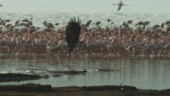 PAN with African Fish Eagle as it takes off and flies towards camera with massed flamingoes on Lake Bogoria in background