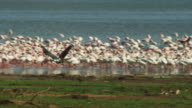 PAN with African Fish Eagle flying across shore and landing with massed flamingoes on Lake Bogoria in background