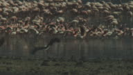 SLOMO PAN with African Fish Eagle flying from camera and landing near flamingo flock who run away in heat haze