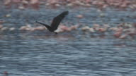 PAN with African Fish Eagle flying in profile over Lesser Flamingoes then shoreline at Lake Bogoria