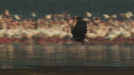 PAN with African Fish Eagle flying in profile with massed flamingoes in background on Lake Bogoria