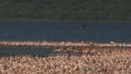 WS PAN with African Fish Eagle flying over Lesser Flamingo flock and landing on branch