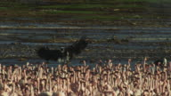 PAN with African Fish Eagle gliding from camera over flock of flamingoes to land by second eagle
