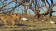 MS PAN with African lion cub walking through dead trees and skulls
