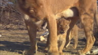MS PAN with African lion cubs walking under lioness with dead trees and skulls in background