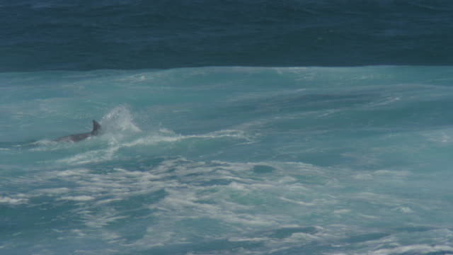 MS PAN with Bottlenosed Dolphin group swimming through breaking waves
