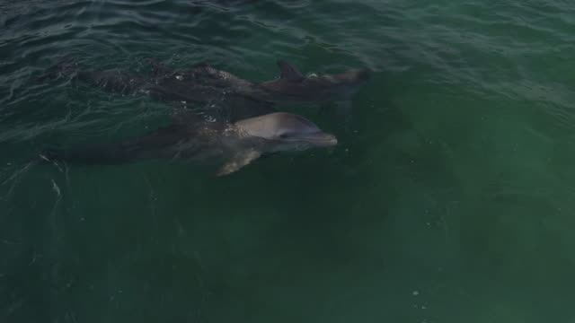 PAN with Bottlenosed Dolphin on back with mouth open then swims off to play with others in shallows