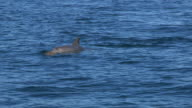 PAN with Bottlenosed Dolphin with brown sponge on its beak as it surfaces to breathe