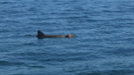PAN with Bottlenosed Dolphin with brown sponge on its beak as it surfaces to breathe then dives
