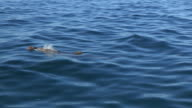 PAN with Bottlenosed Dolphin with brown sponge on its beak visible underwater then surfaces to breathe