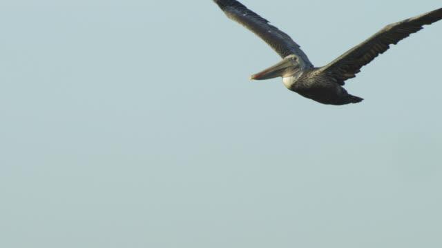 LA MS PAN with Brown Pelican flying against clear sky